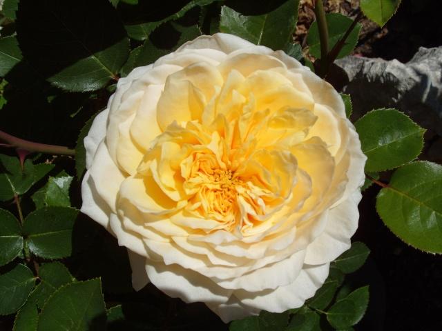 Petit album de roses S1050163