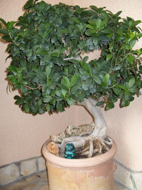 nos bonsaïs et autres ficus S1050165