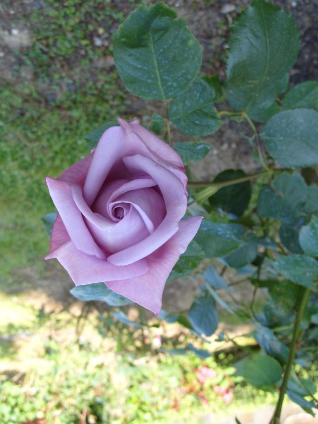 Petit album de roses S1050258