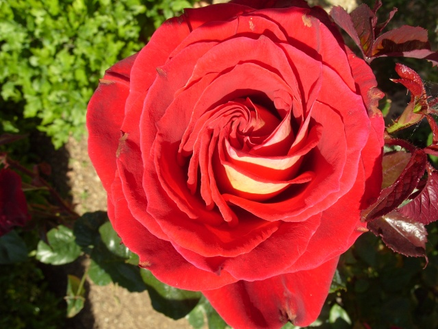 Petit album de roses S1050259