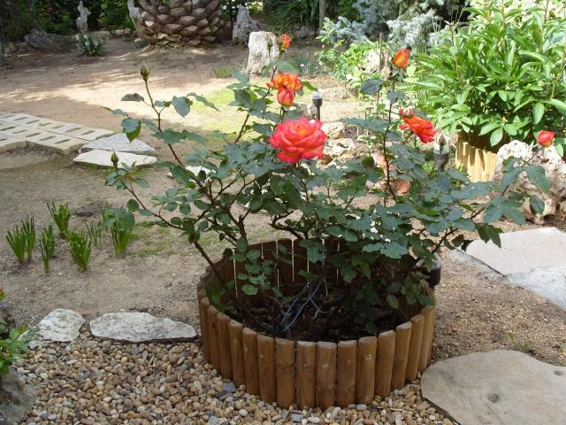 Petit album de roses S1050261