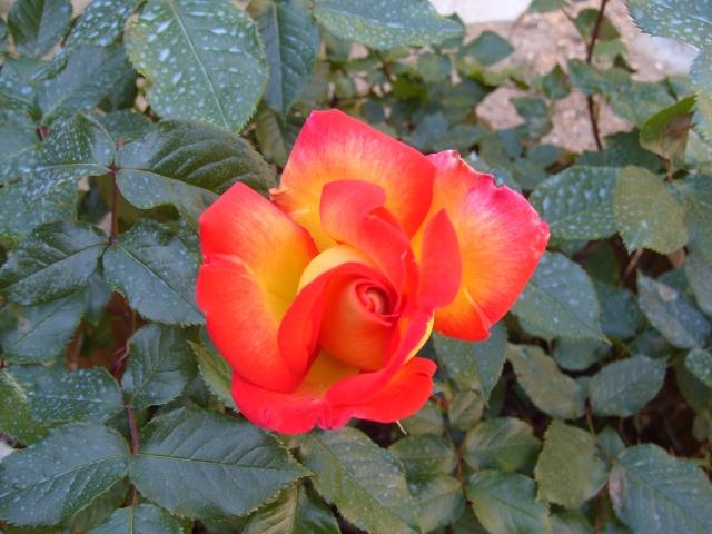 Petit album de roses S1050262