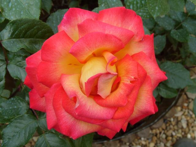 Petit album de roses S1050263