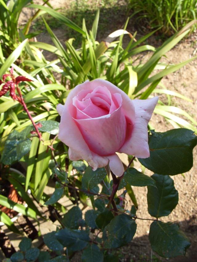 Petit album de roses S1050264