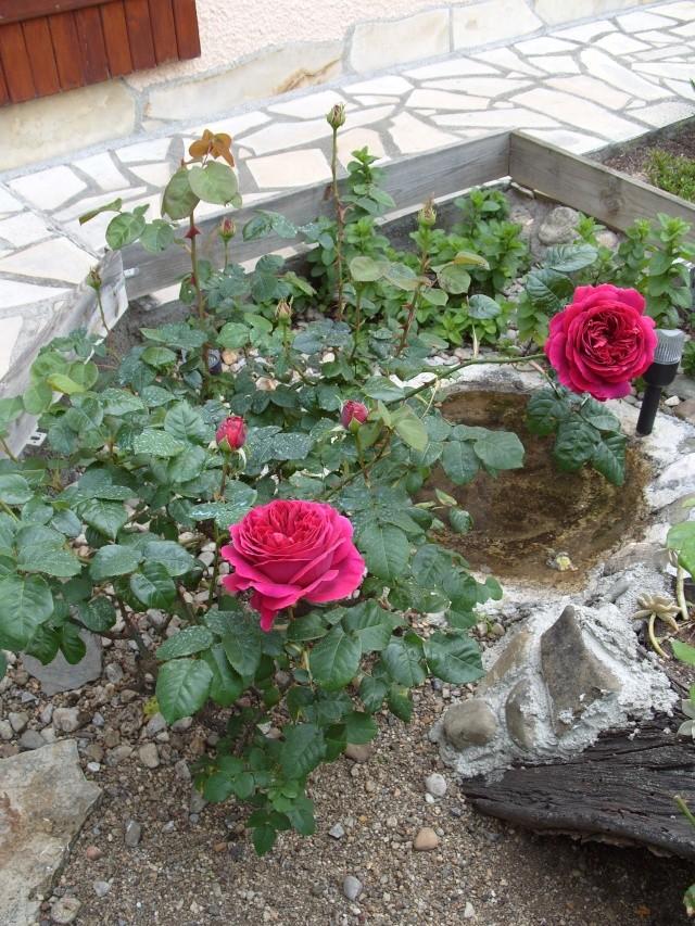 Petit album de roses S1050265