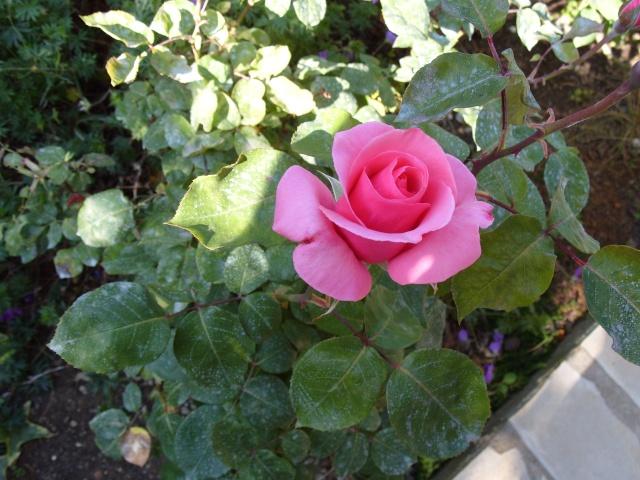 Petit album de roses S1050266