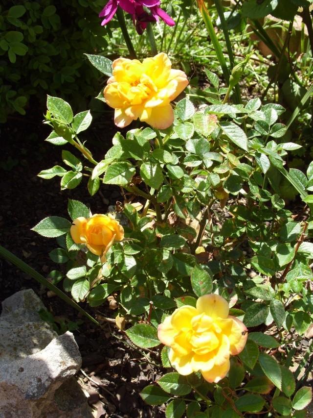 Petit album de roses S1050267
