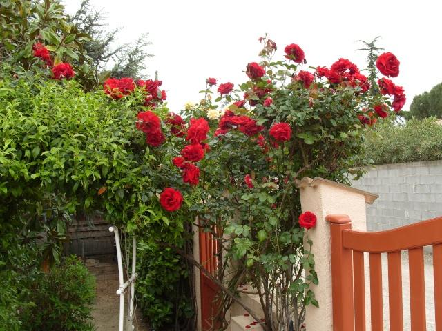 Petit album de roses S1050314