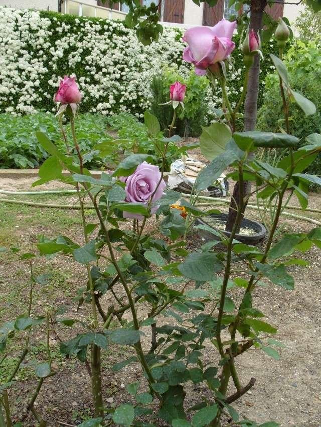 Petit album de roses S1050319