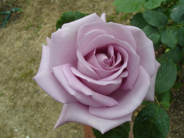 Petit album de roses S1050320
