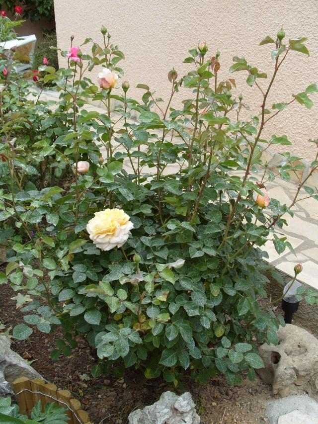Petit album de roses S1050321