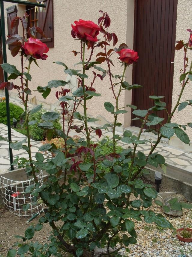 Petit album de roses S1050322
