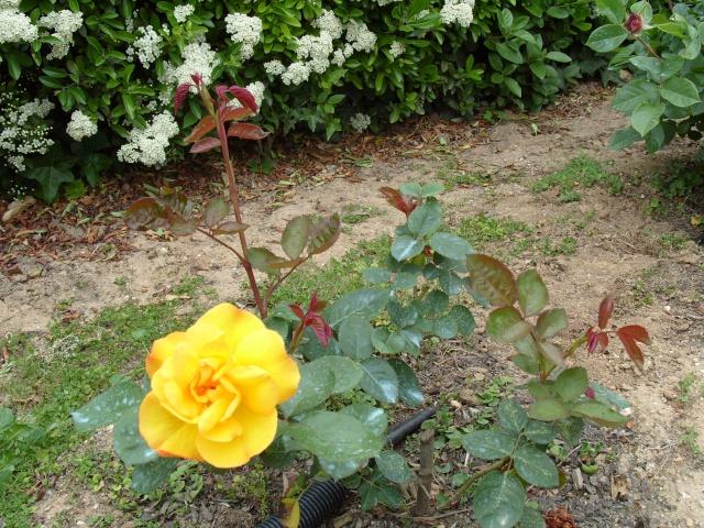 Petit album de roses S1050323