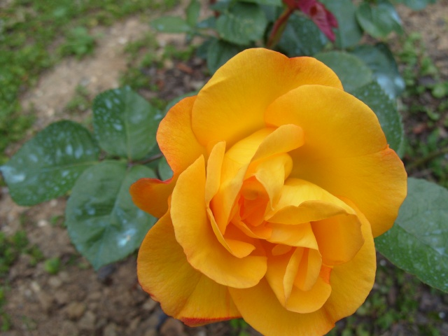 Petit album de roses S1050324