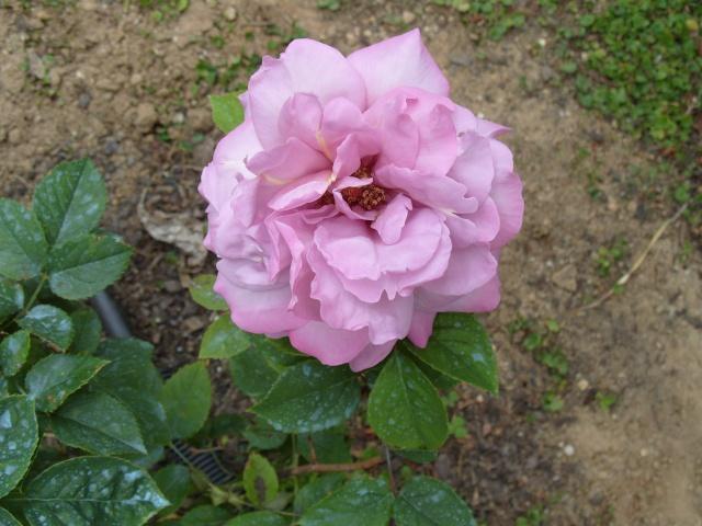 Petit album de roses S1050325