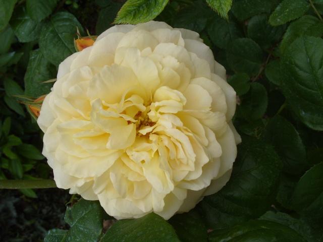 Petit album de roses S1050326