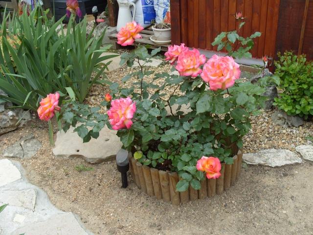 Petit album de roses S1050328