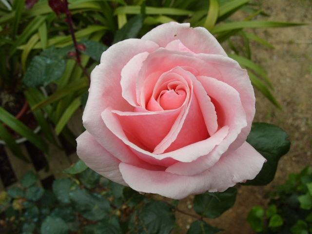 Petit album de roses S1050329