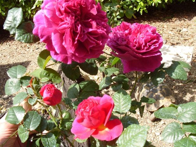 Petit album de roses S1050330