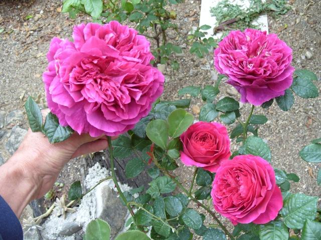 Petit album de roses S1050332