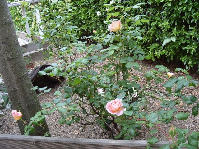 Petit album de roses S1050333