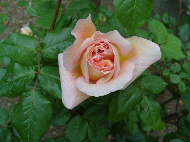 Petit album de roses S1050334