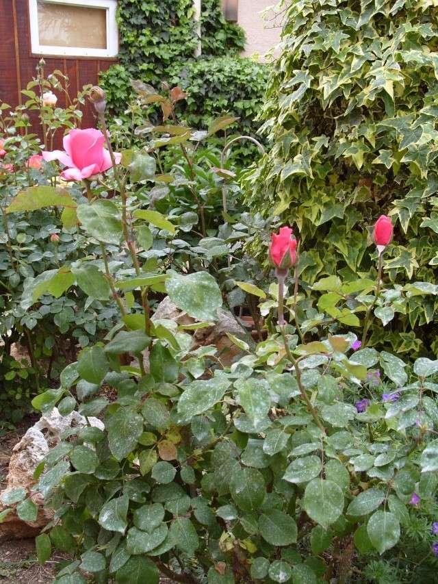 Petit album de roses S1050335