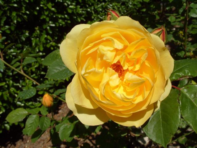 Petit album de roses S1050338