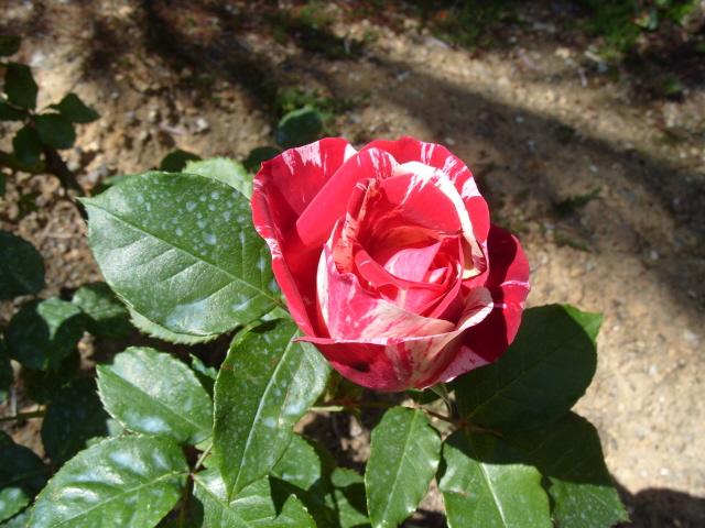 Petit album de roses S1050339