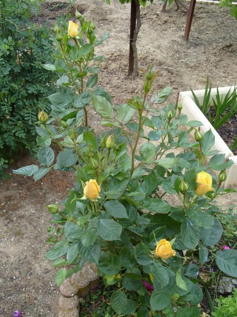 Petit album de roses S1050340