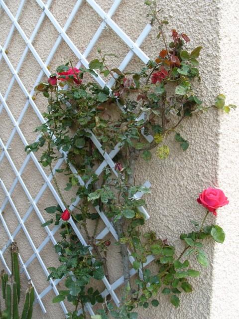 Petit album de roses S1050341