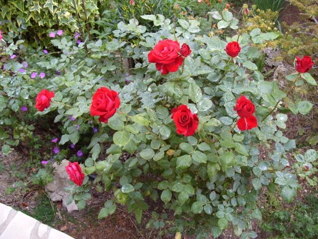 Petit album de roses S1050343