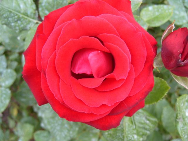 Petit album de roses S1050344