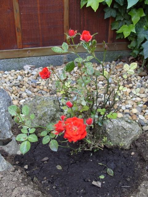 Petit album de roses S1050345