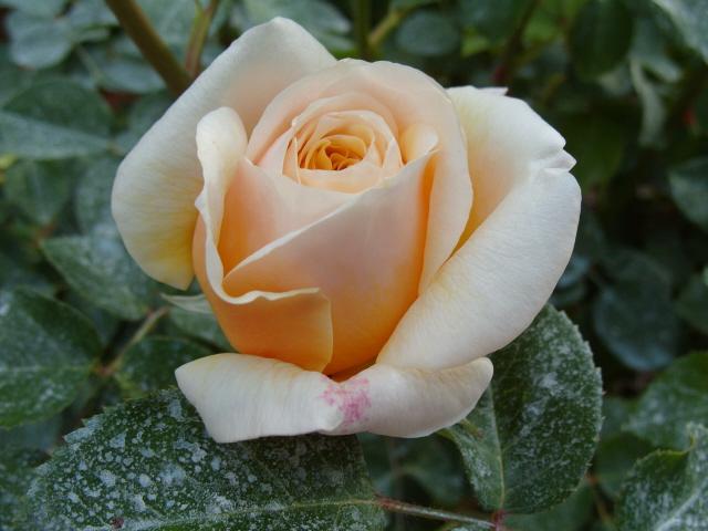 Petit album de roses S1050346