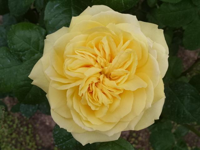 Petit album de roses S1050349