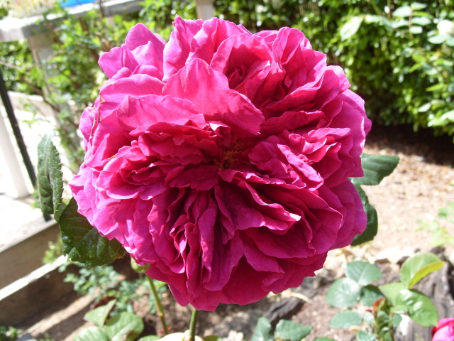 Petit album de roses S1050350
