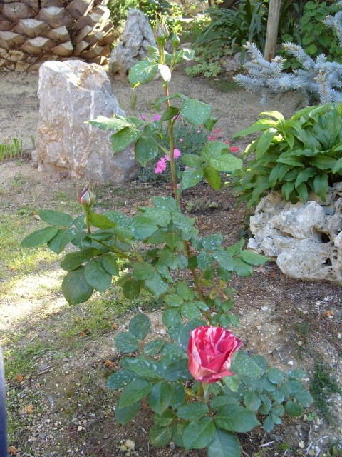 Petit album de roses S1050411