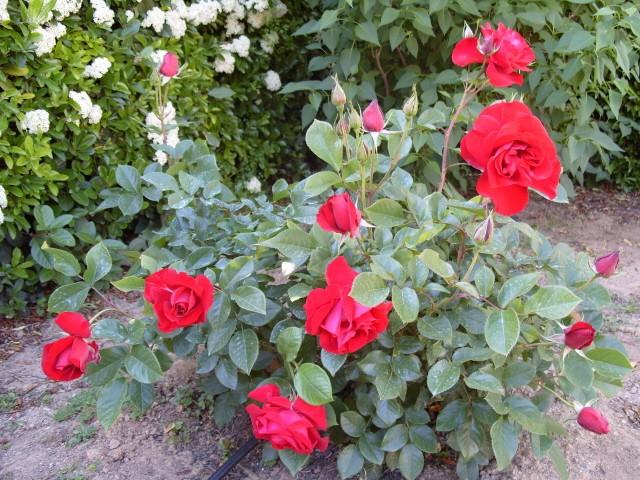 Petit album de roses S1050413