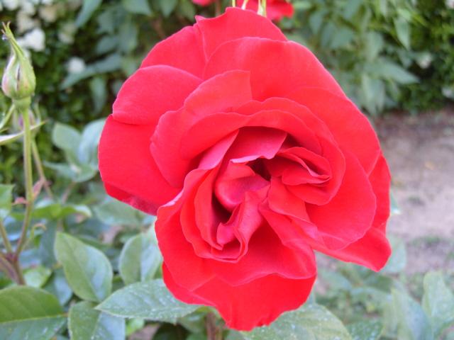 Petit album de roses S1050414