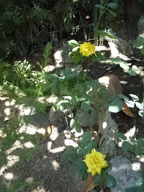 Petit album de roses S1050434