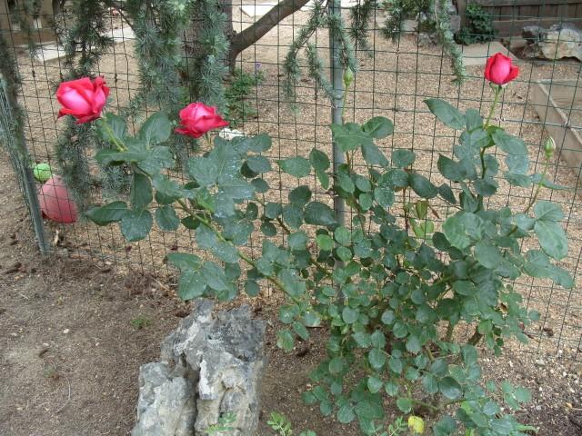 Petit album de roses S1050436