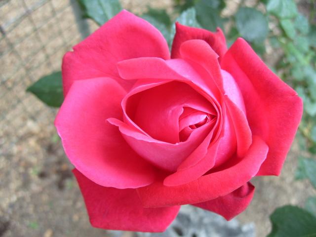 Petit album de roses S1050437