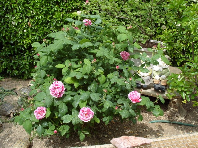 Petit album de roses S1050440