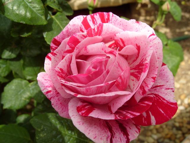 Petit album de roses S1050441