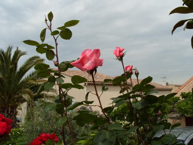 Petit album de roses S1050443