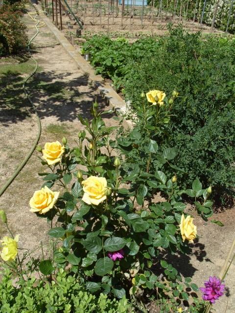 Petit album de roses S1050445