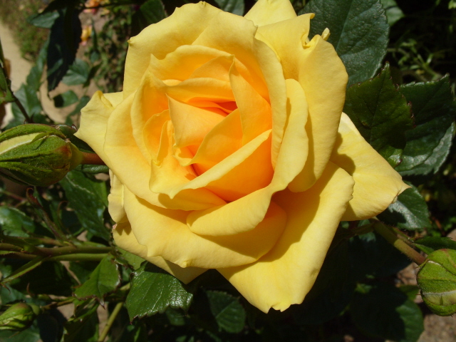 Petit album de roses S1050446