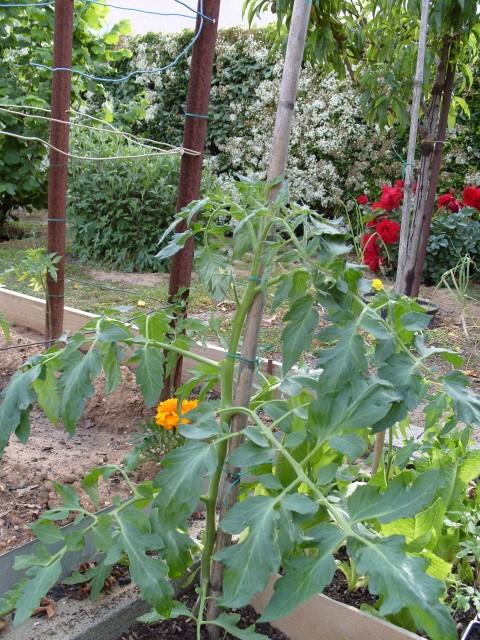 nouvelles plantations de légumes S1050459