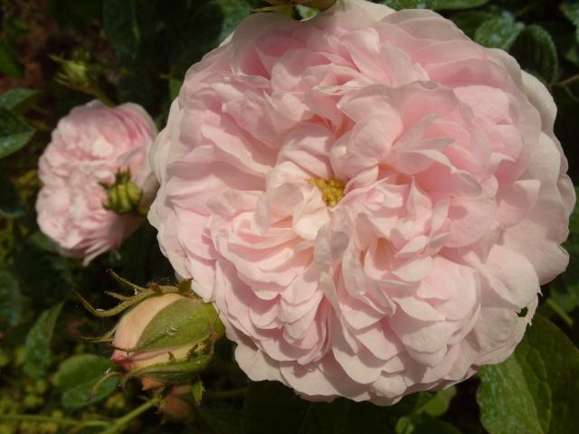 Petit album de roses S1050471